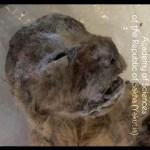シベリアで絶滅したホラアナライオン見つかる