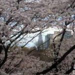 中西一登!桜の達人が教える都内超穴場は?
