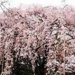 清水公園の桜2018年の見頃は?桜吹雪の日は